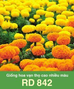 Hạt Giống hoa vạn thọ cao RD 842